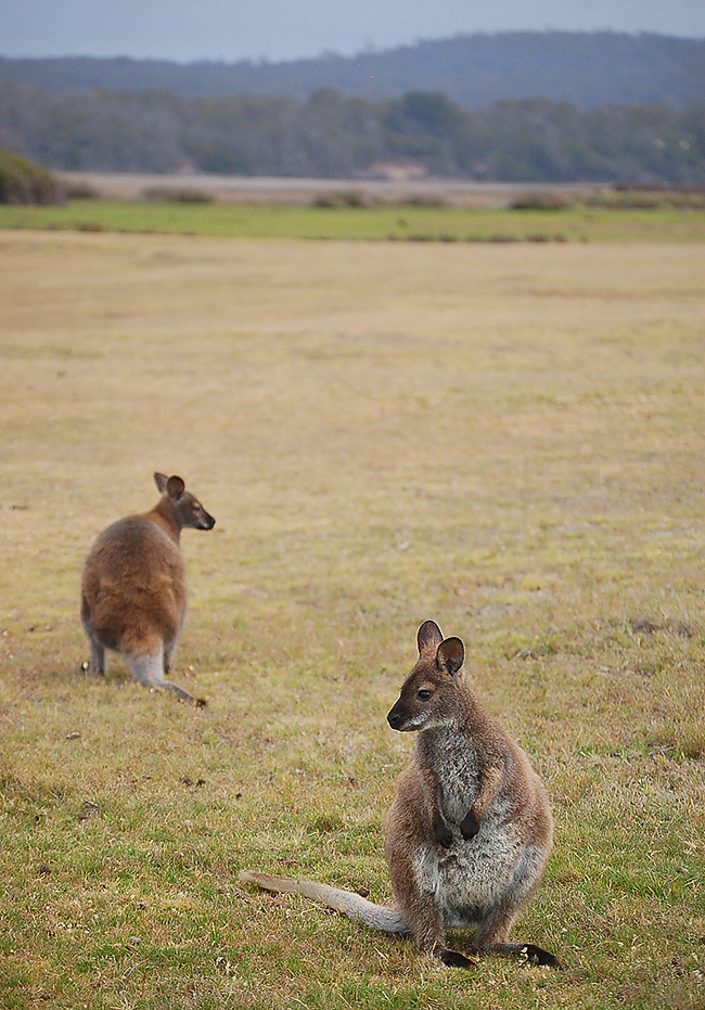 _Narawntapu_Tasmania_wallaby_5_