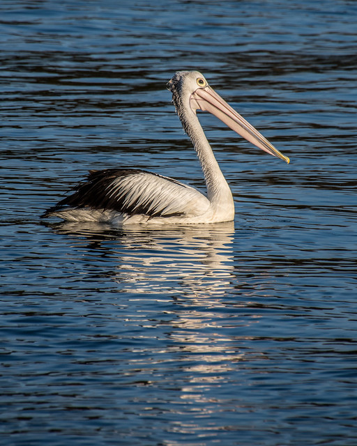 Pelican at the Waterfront
