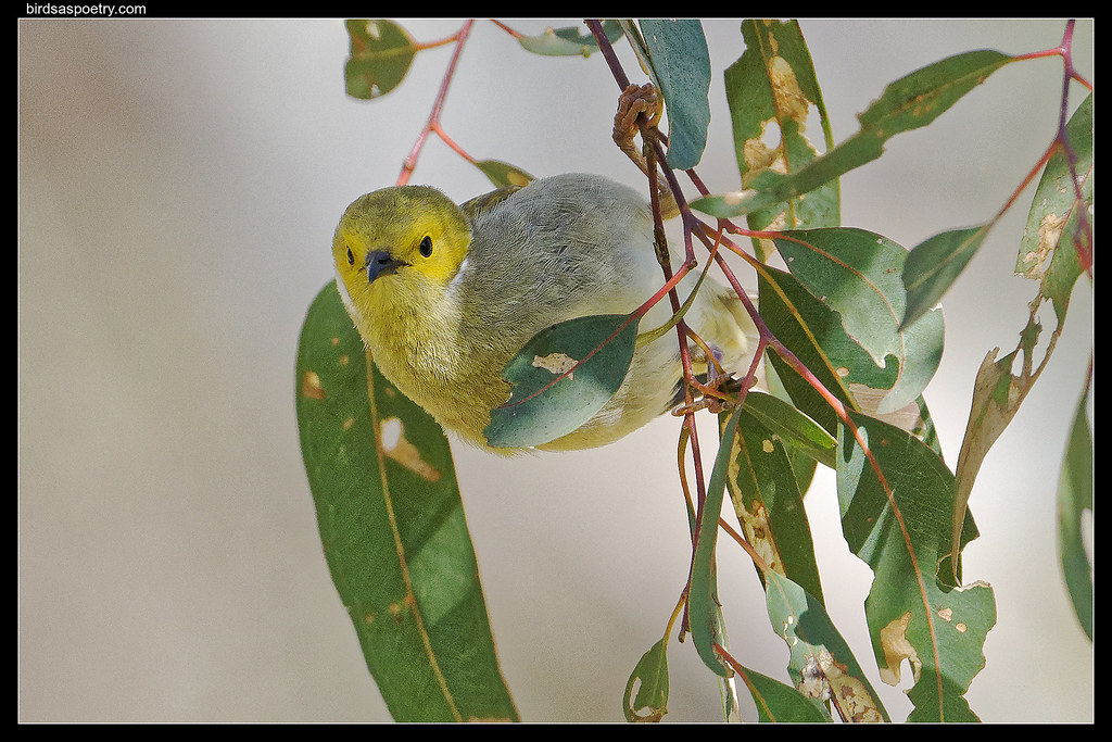 White-plumed Honeyeater: Hanging around