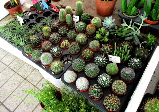 Tamu Muhibbah Miri succulents