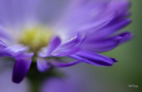 Purple-delight_DSC0847
