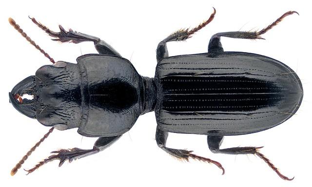 Distichus planus (Bonelli, 1813)