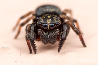 Jumping spider (Salticidae) - DSC_0657