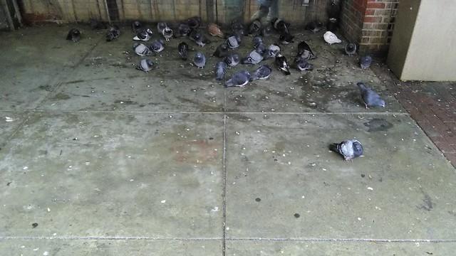 Pigeons of St. Lawrence Market (2) #toronto #stlawrencemarket #marketstreet #birds #pigeons