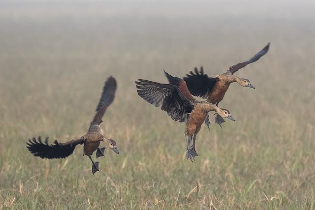 Lesser whistling ducks - Keolada - India