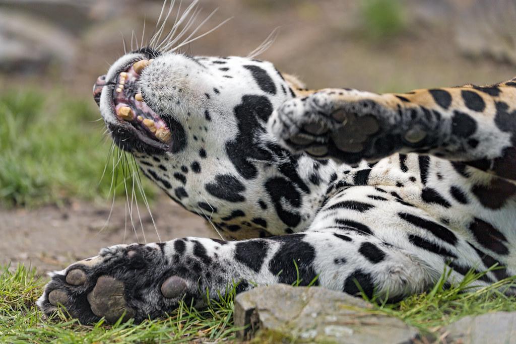 The jaguar female enjoying herself