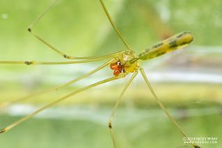 Daddy-long-legs spider (Meraha cf. narathiwat) - DSC_1003