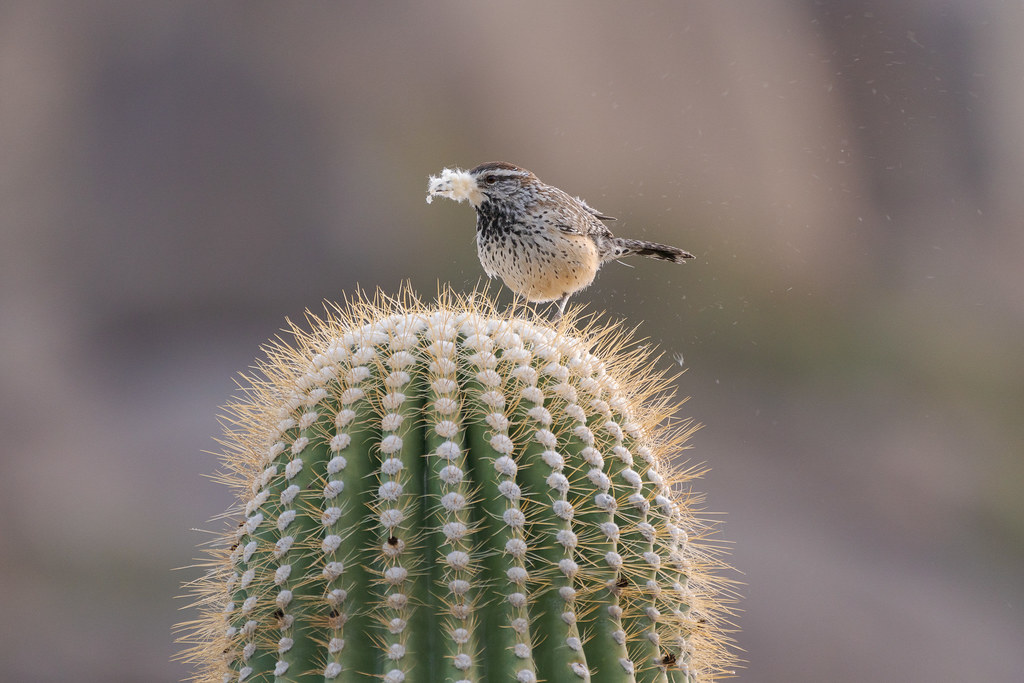 A cactus wren perches atop a saguaro with its beak stuffed full of the soft white material that grows on new growth at the base of the spines, particles of the white material streaming behind it, on the Cholla Mountain Loop Trail in McDowell Sonoran Preserve in Scottsdale, Arizona in November 2019