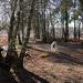 In the silver birch grove