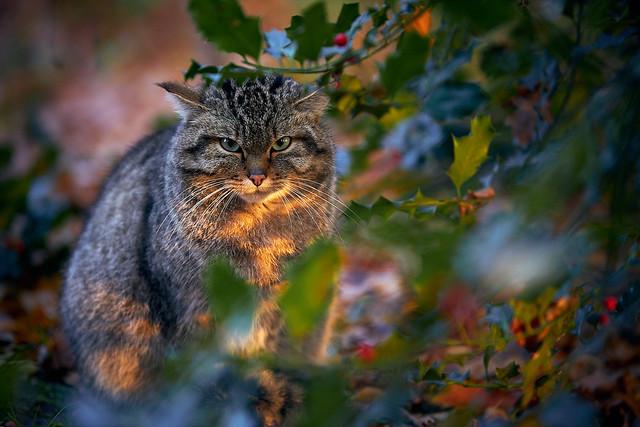 Grumpy (Wild) Cat