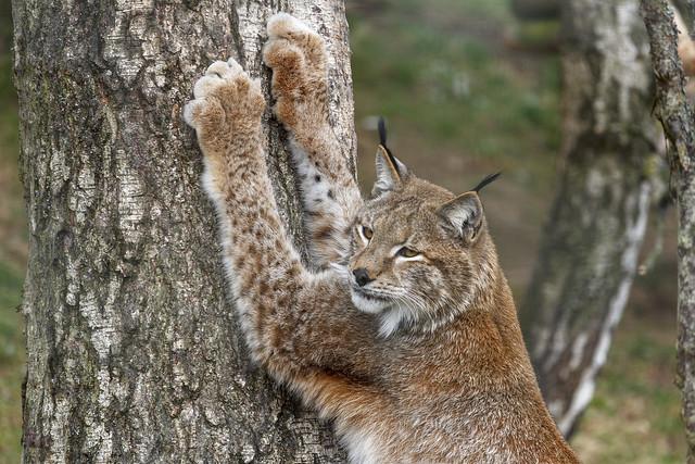 Northern lynx, Highland Wildlife Park, Kincraig, Highland, Scotland, UK