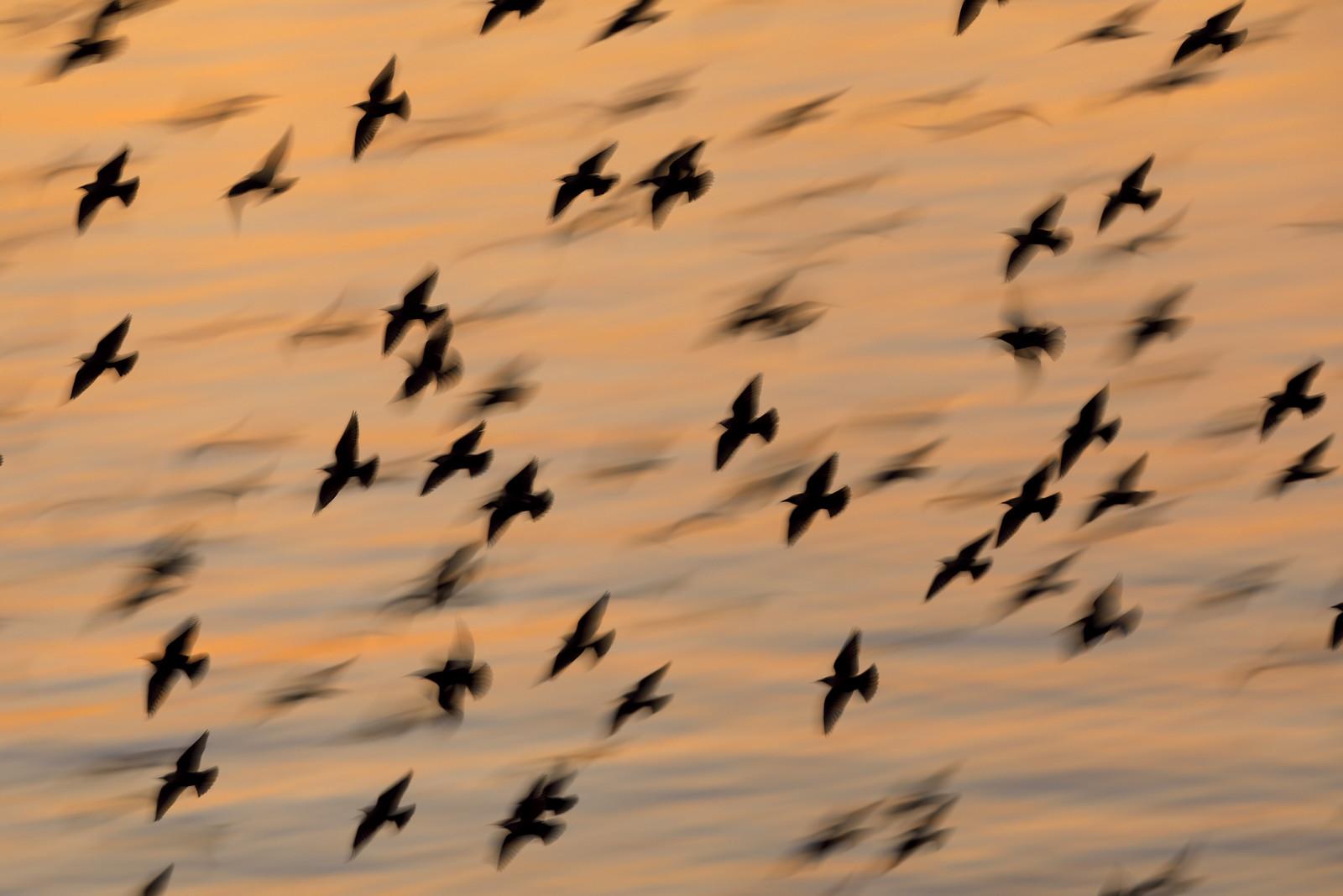 Starling Blurmuration and sea