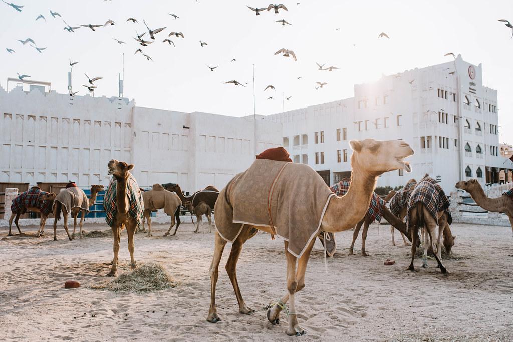 stopover dohassa kamelit