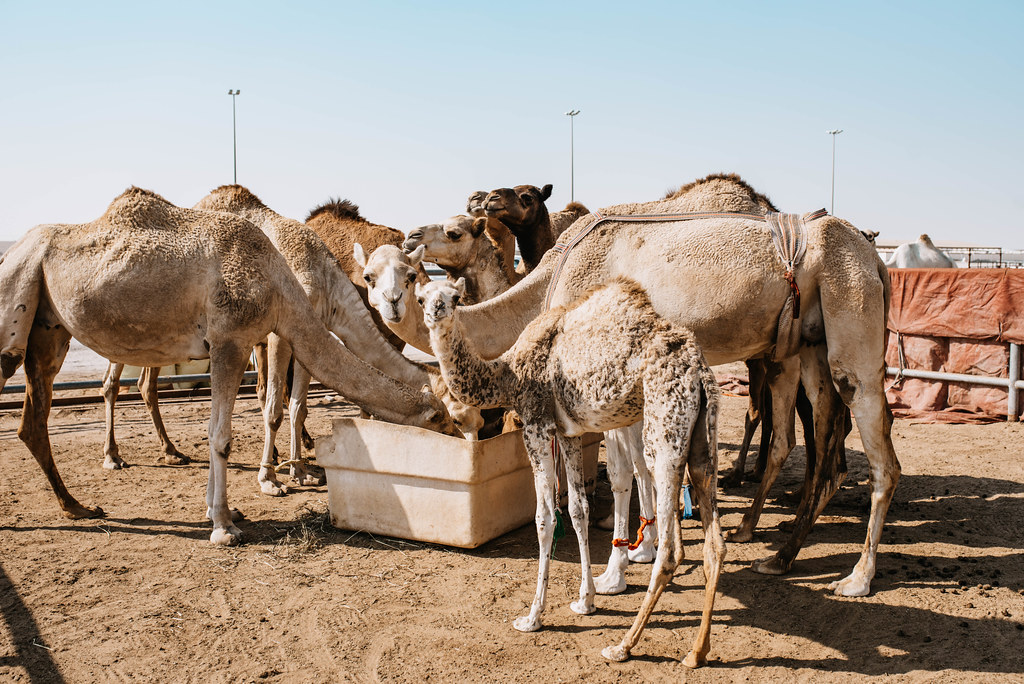qatar kamelit