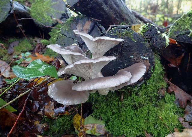 Pleurotus ostreatus - Pleurote en huître - Pearl oyster mushroom or Tree oyster mushroom - 29/11/19