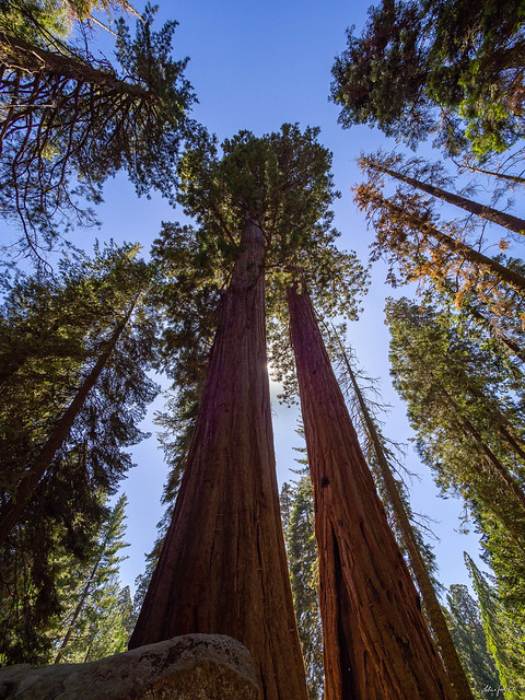 magnificent sequoias