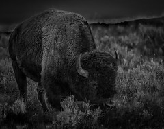 A Mighty Bison by Ron Szymczak Award & POM Monochrome Prints Nov. 2019
