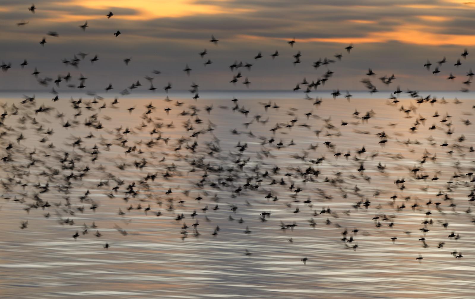 Starling Blurmuration over Silver Sea