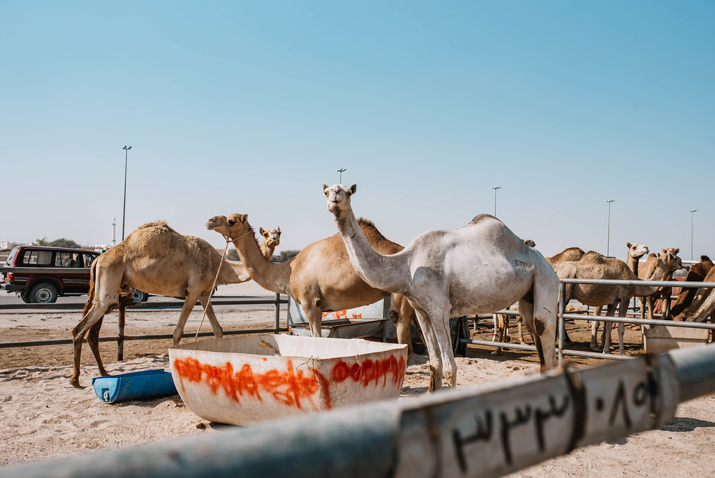 north of qatar Al Shahaniya camel racing