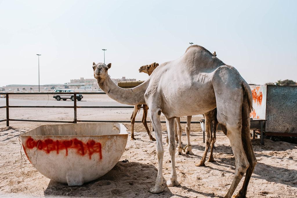 al shahaniya camel market