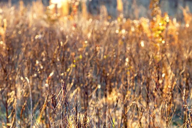 Golden Hour Bokeh, Weeds