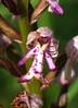 Orchis militaire by jean-paul.vidal.brochon