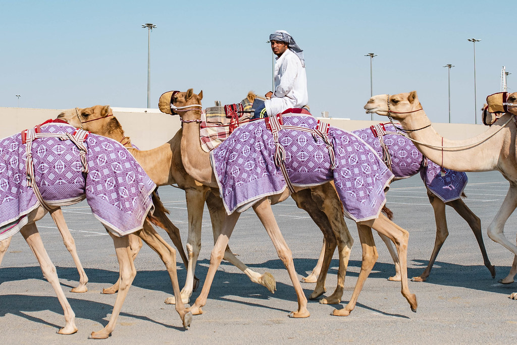 al shahaniya camel races