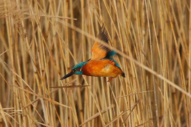 Kingfisher at Meon Shore