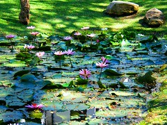 Pink Water Lily Garden