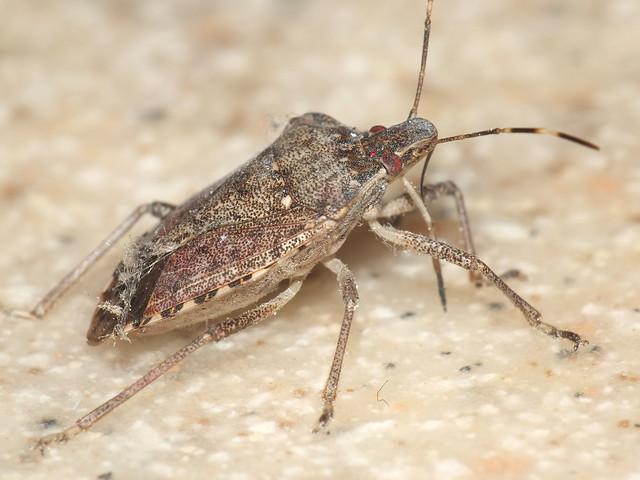 Brown Marmorated Stink Bug Macro  DSCF2633