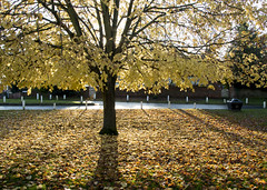 Market Hill Yellow Tree