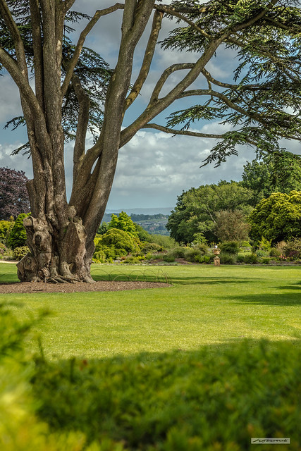 Lebanon Cedar tree at Nymans Gardens with a view to the South Downs.