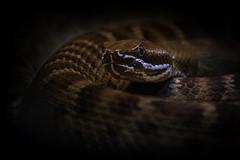 Del Nido Ridge-Nosed Rattlesnake