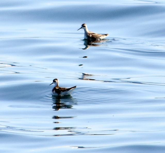 Seabirds, golden plover.