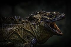 Philippine Sail-Finned Lizard Yawn