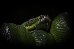Green Tree Python Peekaboo