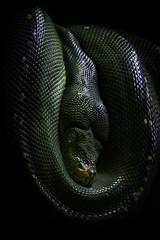 Green Tree Python Hanging