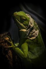 Fijian Banded Iguana Molting