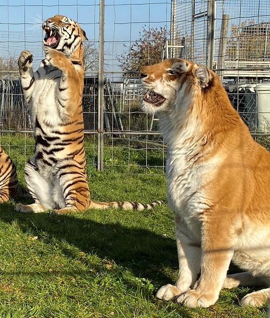 Sibirische Tiger - vorne ein Golden Tabby von Tigertrainer Sascha Prehn #tiger #tier #animal #goldentabby