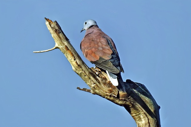 Red Collared Dove !!