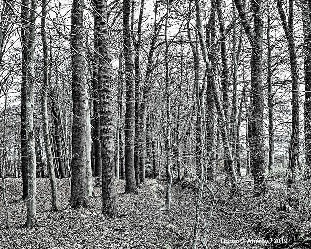 B&W Trees,Drenthe,the Netherlands,Europe