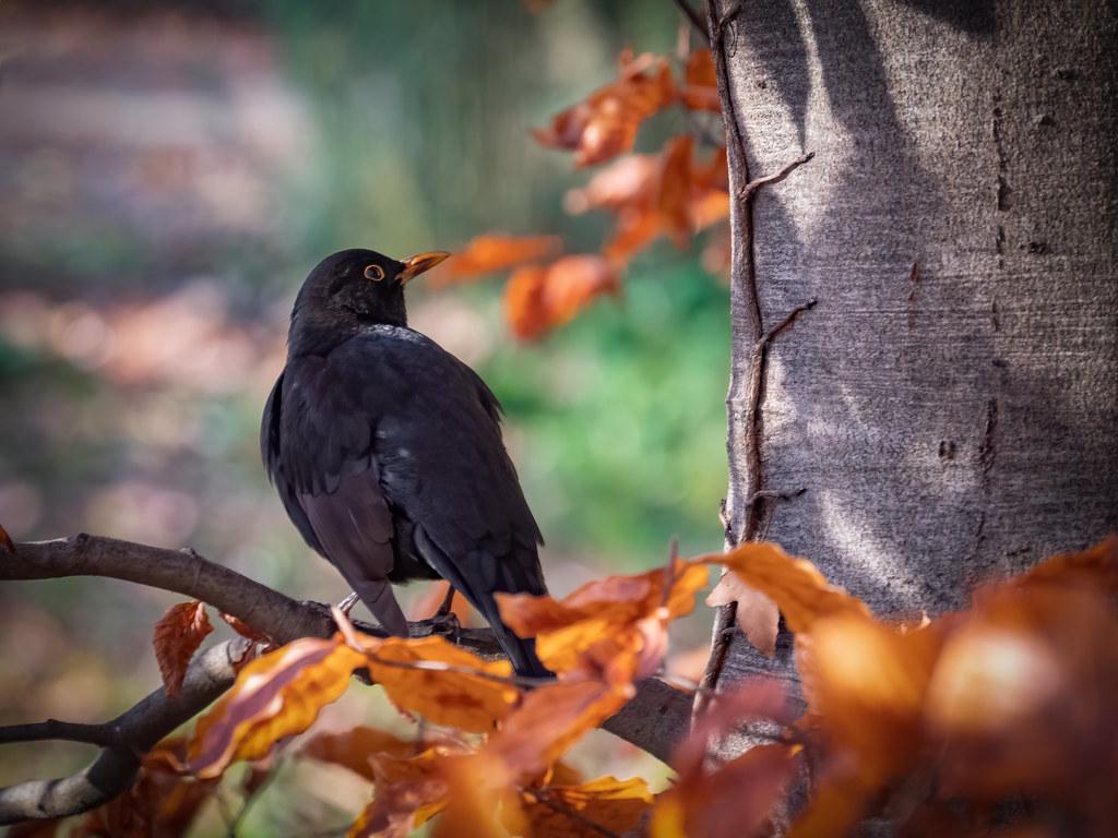 Merle de l'automne... 49166475113_7d6c81858e_b