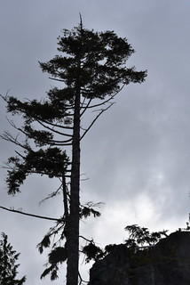 RUGGED TREE ON THE SHORES OF JOHNSTONE STRAIT,  NEAR TELEGRAPH COVE,  BC.