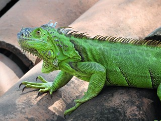 The Green Roof Lizard