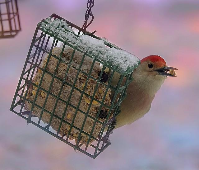 Red Bellied Woodpecker-HBW