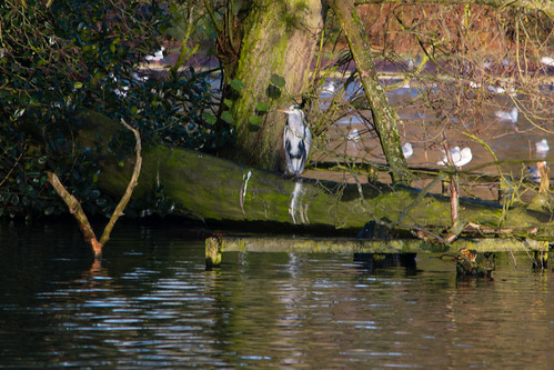 One heron, two places, West Park