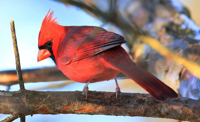 northern cardinal male at Lake Meyer Park IA 653A9653