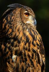 Eurasian Eagle Owl (Explored)  (由  dianne_stankiewicz