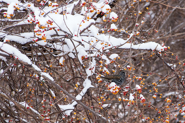 Starling on a snowcovered bush