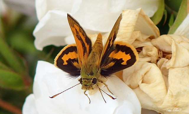 Yellow-banded Grassdart Butterfly